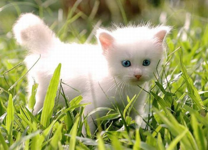 Cute-White-Cats-2.jpg