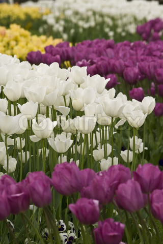 1919455-793692-white-purple-and-yellow-tulips-in-the-gardens-of-the-city-istanbul-turkey.jpg