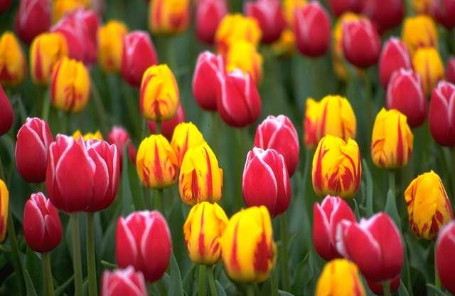 wild-tulips.jpg