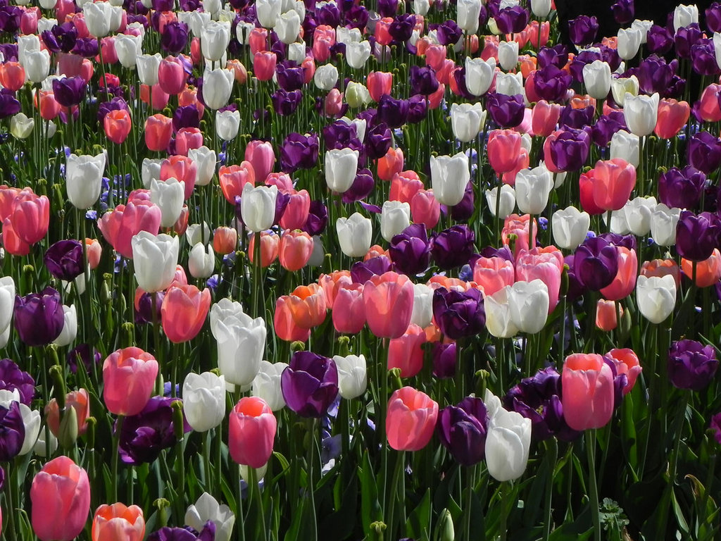 tulips-the-free-purple-pink-and-white-278863.jpg