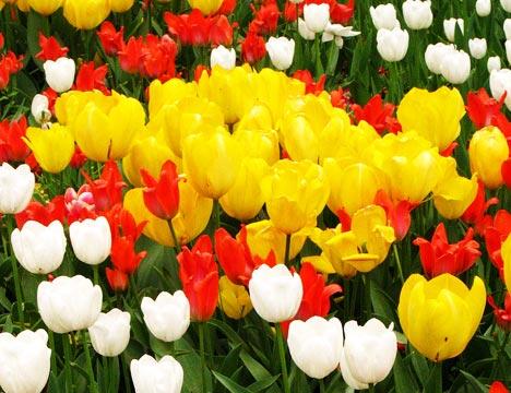 tulips-flowers-istanbul-turkey.jpg