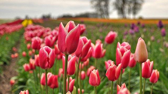 Tulip-festival-21.jpg