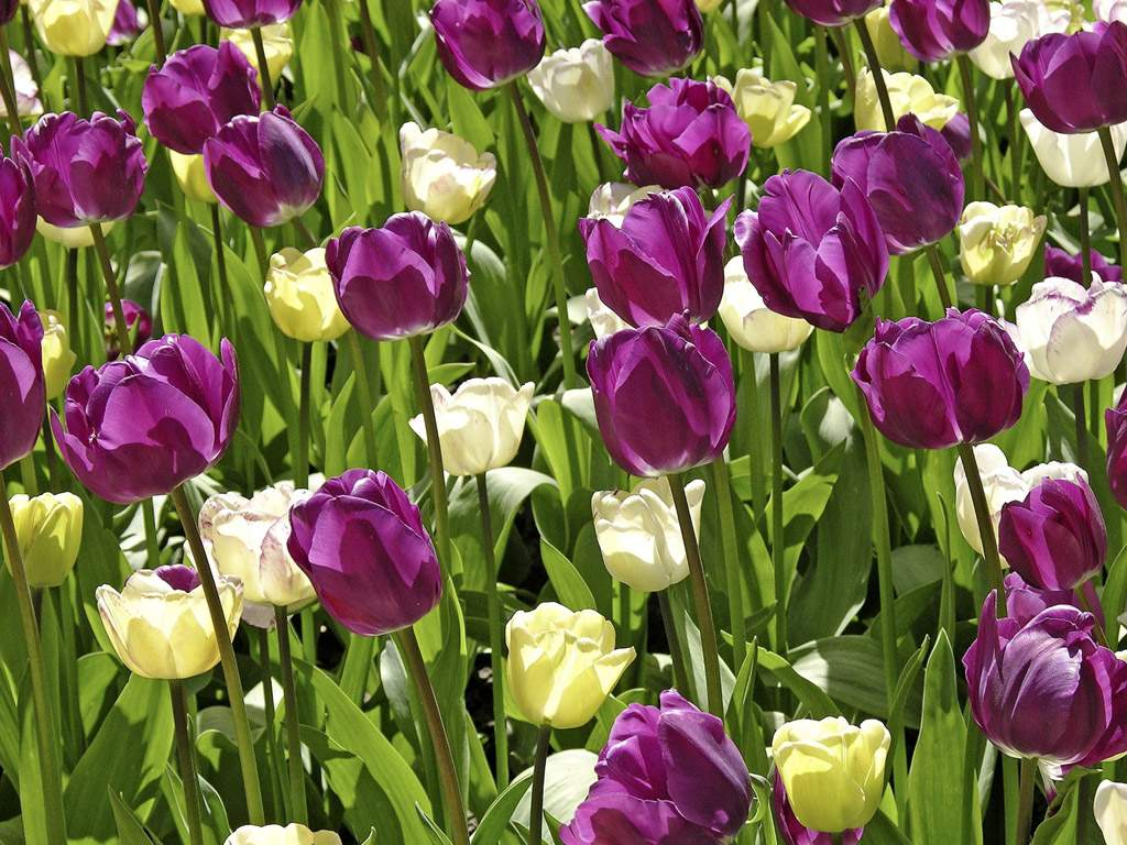 Nature-Tulip-Garden-Wallpaper.jpg