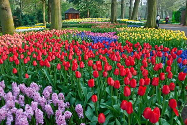 tulips-keukenhof-e1384413704607.jpg