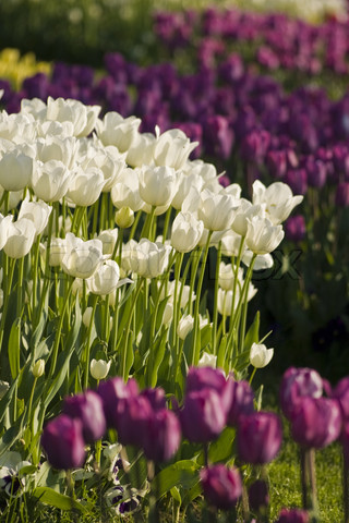 1919461-793128-white-and-purple-tulips-in-the-gardens-of-the-city-istanbul-turkey.jpg